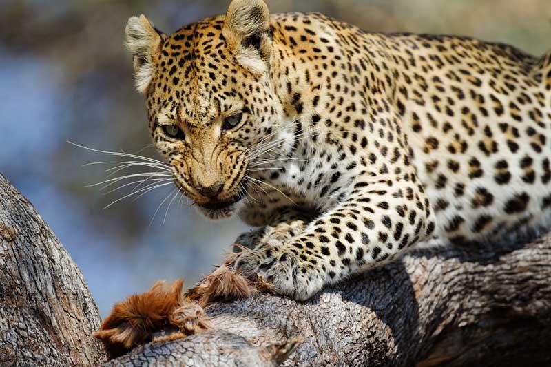 Leopard with impala skin