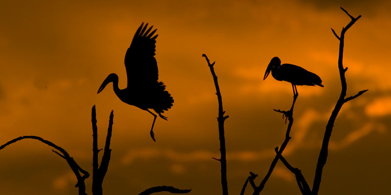 Open-billed Storks at roost in Moremi Game Reserve