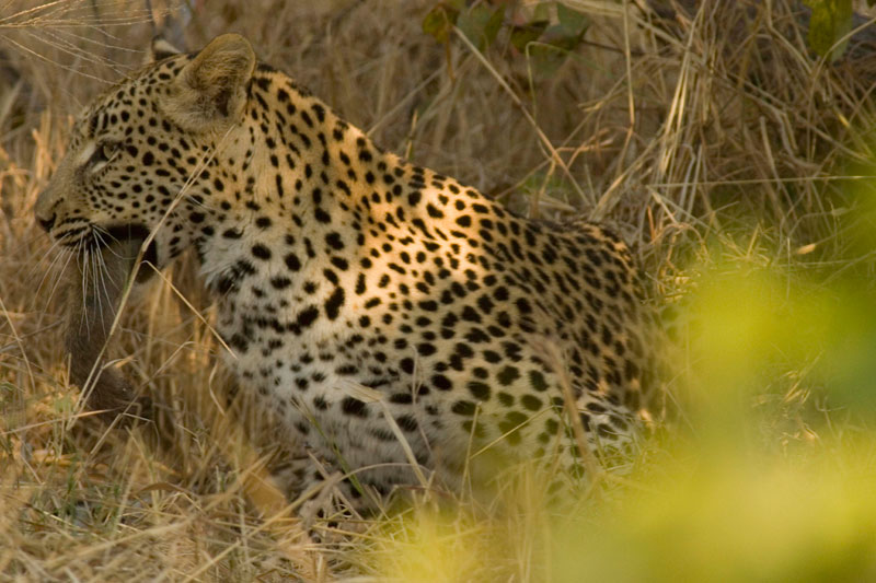 Savuti female leopard