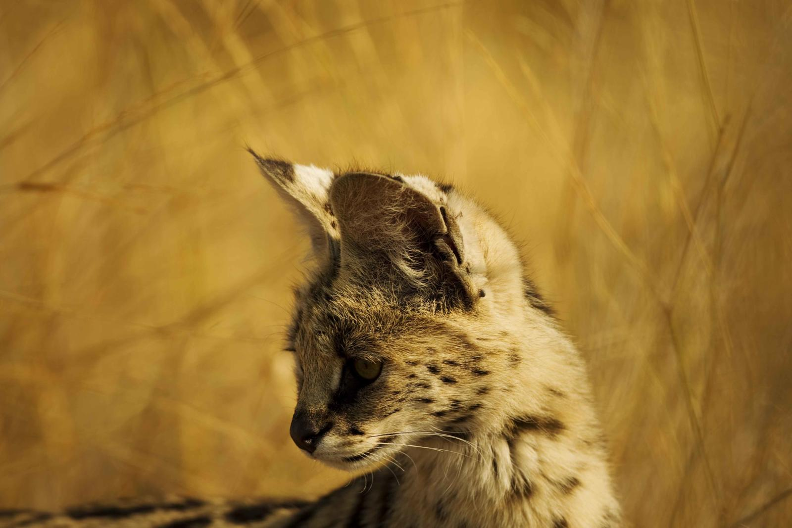 Serval - Moremi Game Reserve
