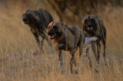 Wild Dogs Setting Off After An Aard wolf