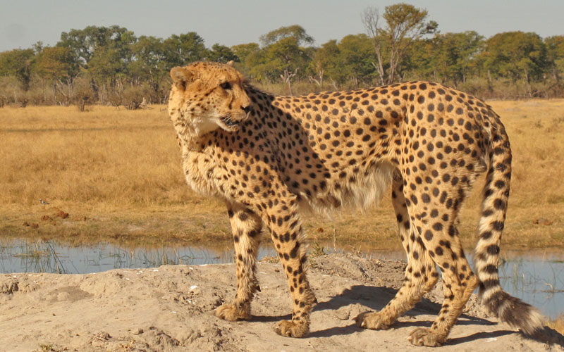 A cheetah in Moremi Game Reserve, Botswana