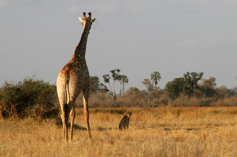 Giraffe and cheetah on safari at Khwai River – Botswana