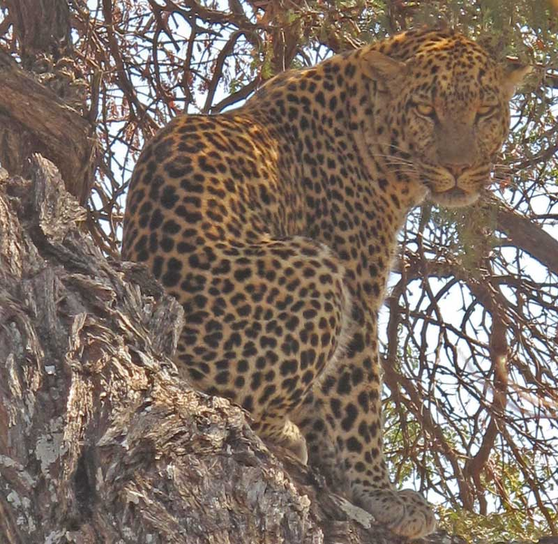 Big male leopard from Twin Hills in Savuti