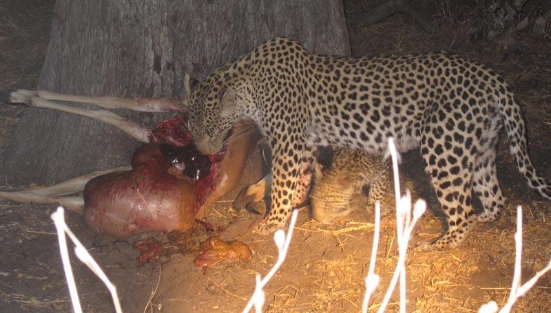 A leopard and cub feed on an impala carcass – Botswana