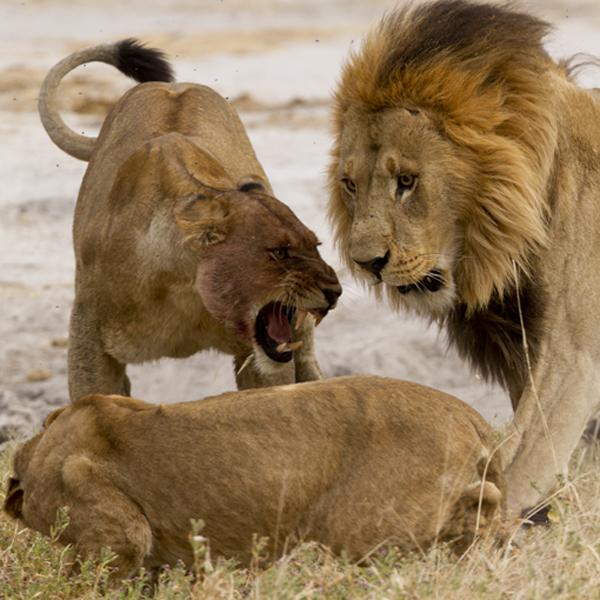 Male lion attacks cub
