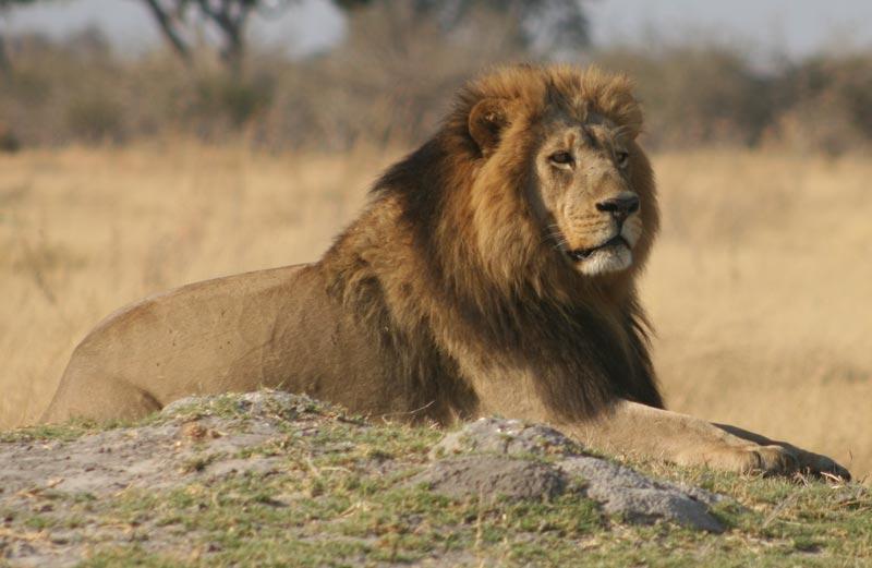 Male lion in Khwai – Botswana