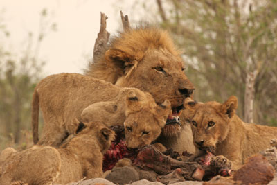 Male lion and cubs feeding on elephant carcass