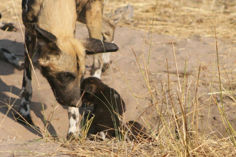 A wild dog with it's pup – Botswana