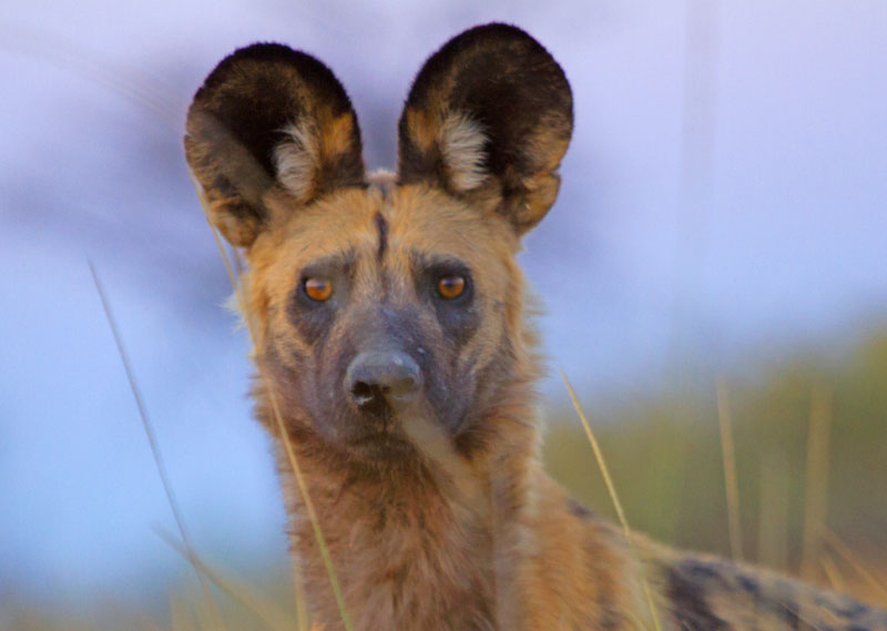 Wild dog in the grass – Khwai Botswana