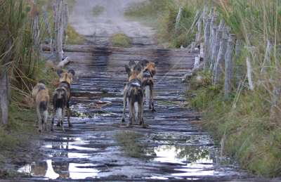 Wild dogs on third bridge
